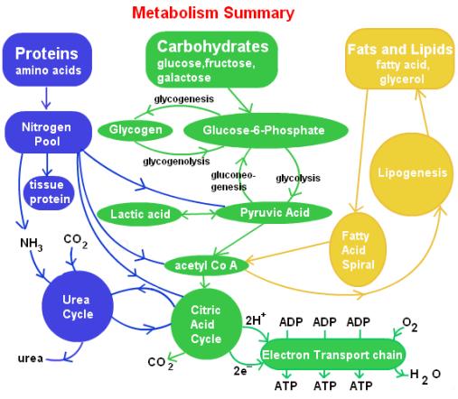 steps-involved-in-lipid-metabolism