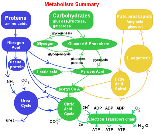 steps-involved-in-lipid-metabolism